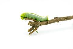 Grön larv på vit bakgrund Arkivfoton