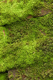 Grön lav Arkivbilder
