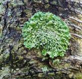 Grön lav på en trädstam fotografering för bildbyråer