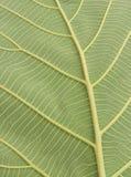 grön leafåder Royaltyfri Fotografi