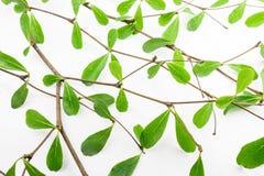 grön leaf Fotografering för Bildbyråer