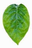 Grön leaf. Fotografering för Bildbyråer