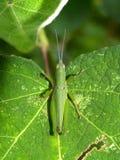grön leaf 3 Royaltyfri Foto