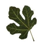 grön leaf Royaltyfri Foto