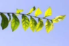 grön leaf Royaltyfri Bild