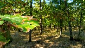 grön leaf Ekbladnärbild solig dagskogliggande Skogbakgrund på skrivbordet Sommar i skogen för skoggräsplan arkivfoto