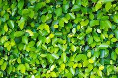 grön leaf för bakgrund Arkivfoton