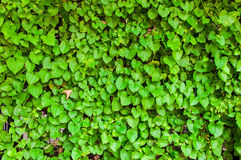 grön leaf för bakgrund fotografering för bildbyråer