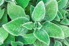 grön leaf för bakgrund Mjuka fluffiga Stahis sidor royaltyfria foton