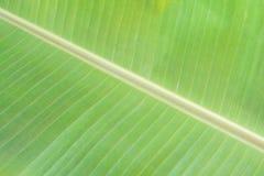 grön leaf för banan Arkivbild