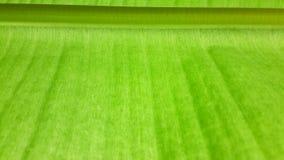 grön leaf för banan grönt blad för tapet Royaltyfri Foto