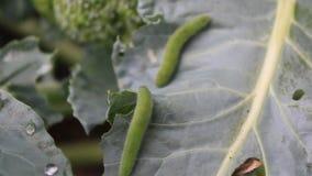 grön leaf för caterpillar lager videofilmer