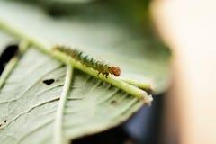 grön leaf för caterpillar Royaltyfri Bild