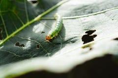 grön leaf för caterpillar Royaltyfria Bilder