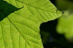 grön leaf för closeup Royaltyfria Foton