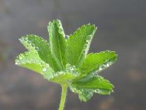 grön leaf för dagg Royaltyfria Bilder