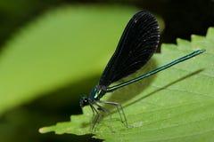 grön leaf för damselfly Arkivfoton