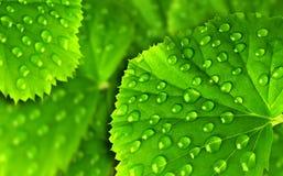 grön leaf för droppar fotografering för bildbyråer