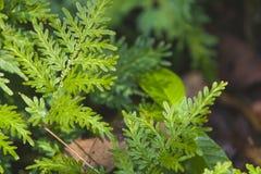 grön leaf för fern Arkivbilder