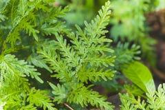 grön leaf för fern Royaltyfri Fotografi