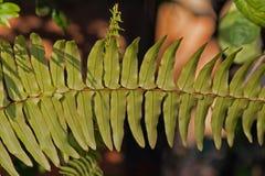 grön leaf för fern royaltyfri foto
