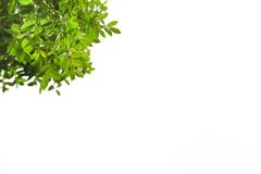 grön leaf för filial Royaltyfria Foton