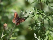 grön leaf för fjäril Arkivbilder