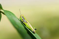 grön leaf för gräshoppa royaltyfria foton