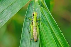 grön leaf för gräshoppa fotografering för bildbyråer