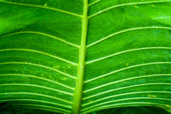 Grön leaf för leaftexturtaro Arkivfoton