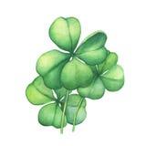 grön leaf för växt av släkten Trifolium fyra Fotografering för Bildbyråer