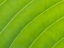 grön leaf Ljus åder Royaltyfri Fotografi