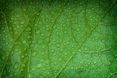Grön leaf, makro Arkivfoton