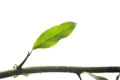 Grön leaf med droppar av vatten Fotografering för Bildbyråer