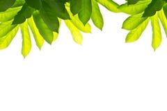 Grön-leaf-på-en-isolera Arkivfoto