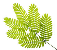 Grön leaf på vit Royaltyfri Bild