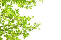 Grön leaf på vit bakgrund Arkivbilder