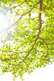 Grön leaf på vit bakgrund Fotografering för Bildbyråer