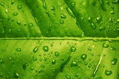 grön leafcitron Arkivfoton