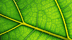 Grön leafcouse upp Royaltyfri Fotografi