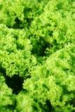 grön leafgrönsallat Arkivfoto