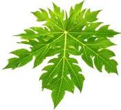 Grön leafisolate på white Arkivbilder