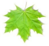 grön leaflönn Fotografering för Bildbyråer