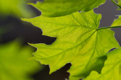 grön leaflönn Royaltyfri Fotografi