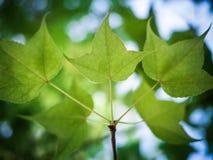 grön leaflönn för bakgrund Royaltyfri Bild