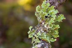 Grön leaflike Foliose lav som växer på trädfilial i skog I fotografering för bildbyråer