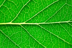 grön leafmakro Royaltyfri Foto