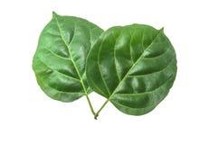 grön leafmakro Royaltyfria Bilder