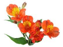 grön leaforange för blommor Fotografering för Bildbyråer