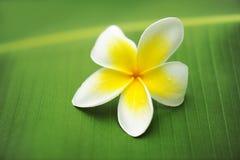 grön leafplumeria för frangipani Arkivfoto